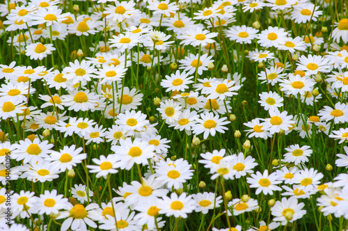 Foto op Canvas Madeliefjes White camomiles on field