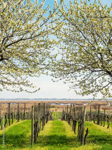 Kirschblüte im Frühling am Neusiedlersee