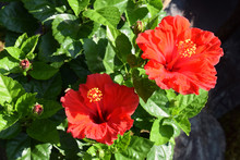 2 Flowers - Red Hibiscus / 赤...