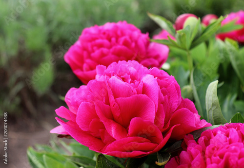 Papiers peints Rose Paeonia officinalis in organic garden sunny morning full of elegant particularly beautiful peony flowers. Paeonia officinalis was first used for medicinal purposes. Nature concept. Macro photo.