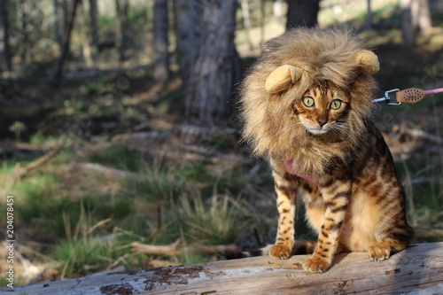Funny tabby cat with lion style wig