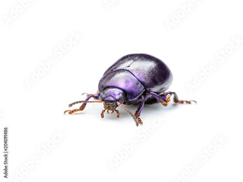 Chrysolina Coerulans Blue Mint Leaf Beetle Insect Macro Isolated on White