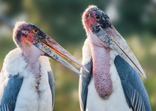 Close-up View Of Two Marabou S...