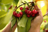 woman picking cherry from cherry tree
