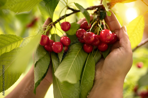 Fotografie, Obraz woman picking cherry from cherry tree