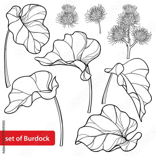 Foto Vector set of outline greater Burdock or Arctium lappa, leaf and bur or seed in black isolated on white background
