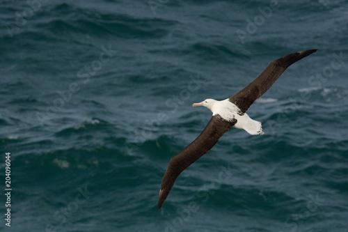 Fotografie, Obraz  Diomedea sanfordi - Northern Royal Albatros flying above the sea in New Zealand