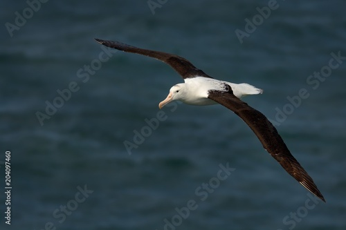 Fotografía Diomedea sanfordi - Northern Royal Albatros flying above the sea in New Zealand