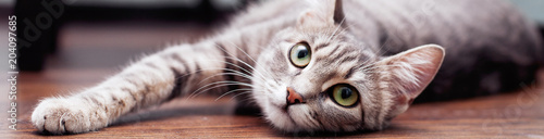 Gray fluffy cat is. The concept of pets. Banner for website.