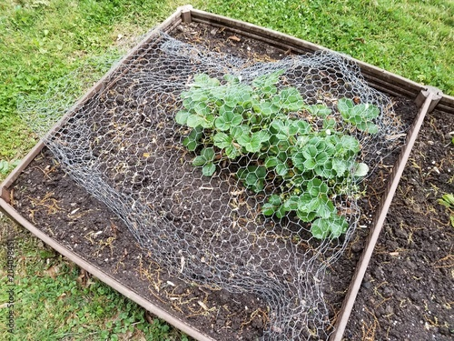 Small Raised Bed Garden With Strawberry Plants And Wire