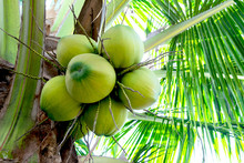 The Coconut On A Tree To Make ...