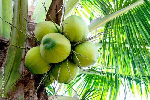 Fotografia The coconut on a tree to make a drink or coconut milk industry.
