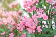 beautiful pink flower blossom blooming on tree with green leaf