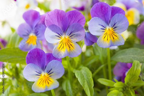 Papiers peints Pansies beautiful pansy summer flowers in garden