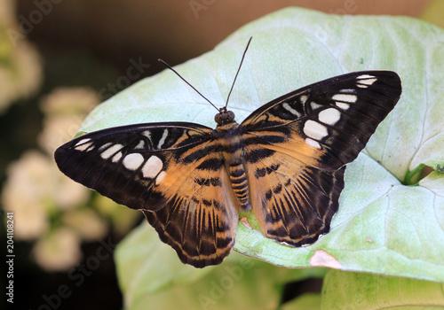 Fotografie, Obraz  Тигровая бабочка (Parthenos Sylvia) крупным планом