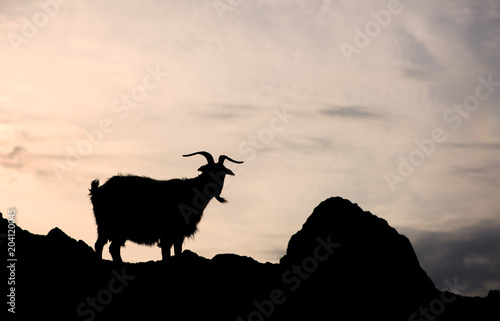 Silhouette of one single goat on a rock in orange sunset background Poster