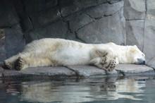 A Polar Bear Sleeping