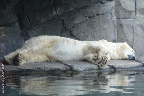 Photo  A polar bear sleeping