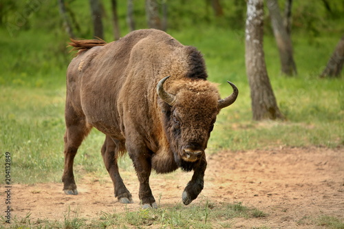 Carta da parati European bison (Bison bonasus) in forest, spring time Slovakia.