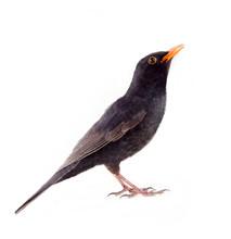 Blackbird (Turdus Merula, Male...