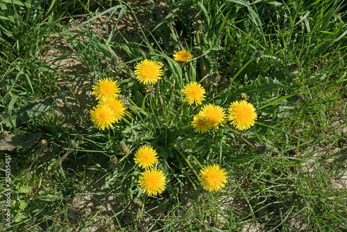 neglected garden bed with yellow blooming dandelion weed and grass, top view from above