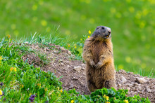 Marmot (Groundhog) Standing In Alarm Position On Blossoming Pasture