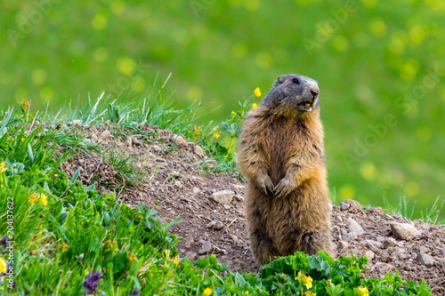 Fotografía  Marmot (Groundhog) standing in alarm position on blossoming pasture