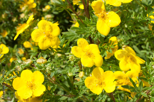 Yellow flowers potentilla fruticosa goldfinger in nature Fototapeta