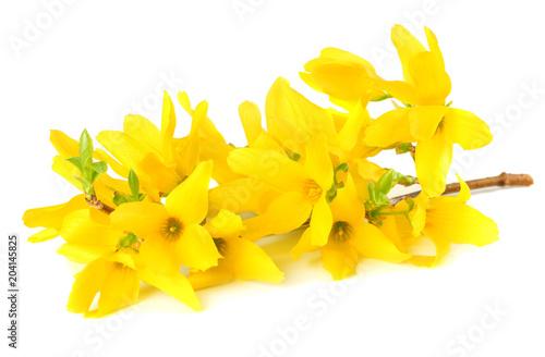 Forsythia Oleaceae flowers blossoms isolated on white background Fototapeta