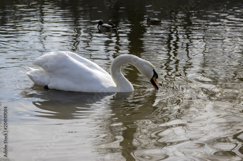 Foto op Canvas Zwaan One swan on Odra river, largest waterfowl birds with white feathers