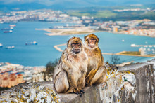 Closeup Of A Pair Of Macaques,...