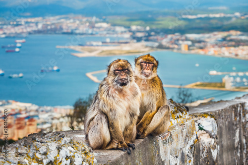 closeup of a pair of macaques, male and female in a reserve on the Gibraltar pen Canvas Print