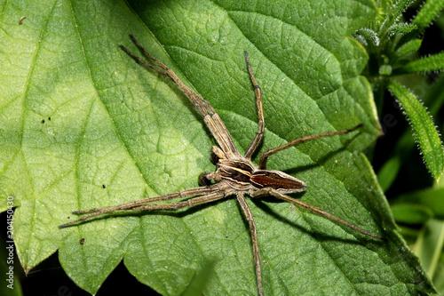 ragno cacciatore (Pisaura mirabilis)