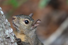 Portrait Of A Grey Squirrel / ...