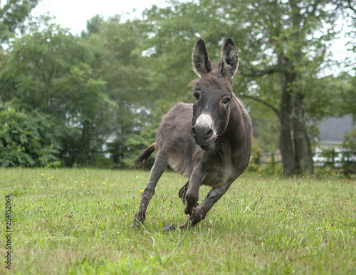 Poster Ezel Donkey Running