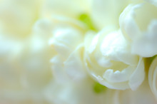 Beautiful Many Jasmine Flower On White Background,select Focus.