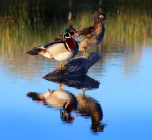 Wood Duck Pair Standing On A Log
