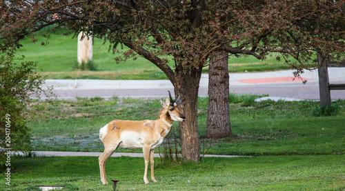 Foto op Canvas Antilope Front Yard Antelope