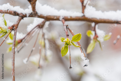 The leaves bloom and snow fell. Snow on the green leaves. Late snow. Spring. Spring snow.