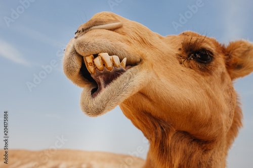 Foto op Plexiglas Kameel Camel in Israel desert, funny close up