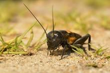 Field Cricket - Gryllus Campes...