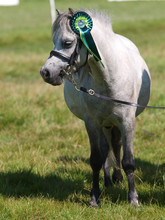 Small Pony In The Show Ring