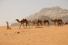 Caravan Of Camels In Wadi Rum ...
