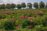 Collina con le peonie fiorite in Lazio