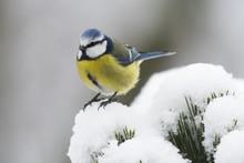 Blue Tit (Parus Caeruleus) In ...