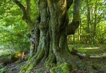 Old Common Beech (Fagus Sylvat...