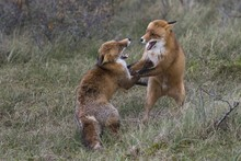 Red Foxes (Vulpes Vulpes), Two Fighting Males, North Holland, Netherlands