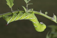 Close Up Of Tomato Hornworm On...