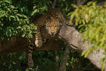 Jaguar Lying On Tree