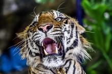 Tiger (Panthera Tigris), Capti...